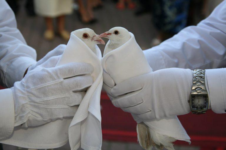 gołębie wesele